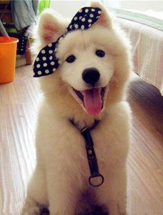 American Eskimo Dog