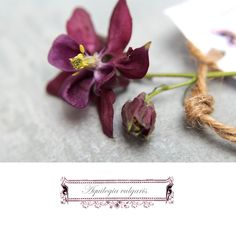 http://seidenfein.blogspot.de/2012/05/purpur-akelei-aquilea-in-purple.html