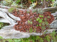 Driftwood with Sempervivum...