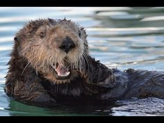 Sea Otters Play Toge
