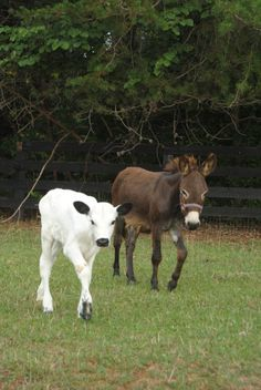 My daily fix of pictures from JMF...Stella is the precious new calf...