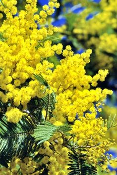 I love mimosa trees. I didn't know that the mimosa trees in France had yellow flowers rather than the pink ones we see in the U.S.