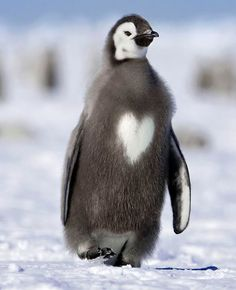 Penguin with a heart!