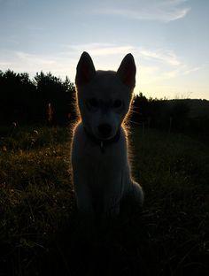 #husky #siberian husky