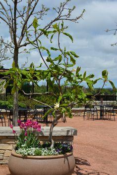 An Umbrella magnolia acts as the centerpiece in this container garden.