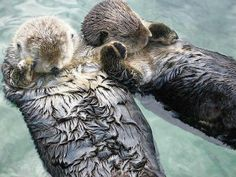 Twitter / EarthPix: Sea otters hold hands while ...
