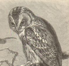 This shop has some really cool antique lithographs and engravings. Would be great for my science class. 1892 Antique Matted Engraving of the Tawny by CabinetOfTreasures