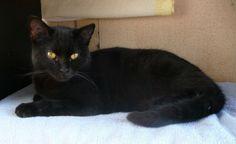 GIBUS   né en juillet 2010 - recueilli le 18 janvier 2012 Ecole du chat libre de Villeparisis(Seine-et-Marne)