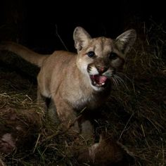 Mountain Lion Family Feast Caught on Camera