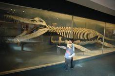 Giganti dal passato. Kronosaurus queenslandicus