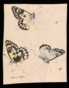 Wood White Butterfly (1861) by Arthur Bartholomew (1834 - 1909). Pencil, watercolour, ink and varnish on paper.
