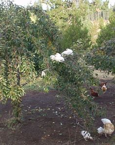free range chickens on a pear tree: raising chickens 2.0: no more coop and run!