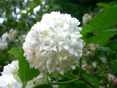 Early viburnum! (betcha thought it was a hydrangea!)