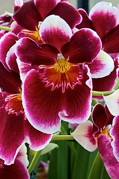 ✯ Orchid 1903 .. By Andy Small✯