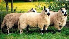 Kerry Hill ewes
