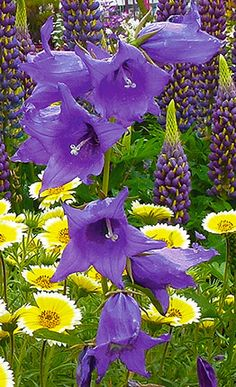 "Campânula latifolia 'Blue' ""Grande Bellflower"""