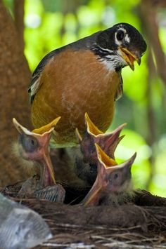 Mama Robin & her young ~ Photo by Art Lupinacci