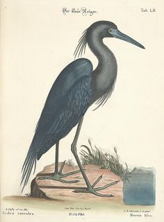 jomobimo:    Blue Heron, Amsterdam, 1772-1781.