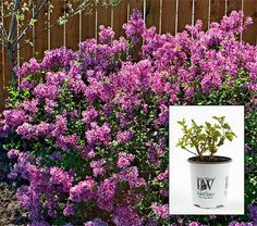 Beautiful Reblooming Lilac $28.95