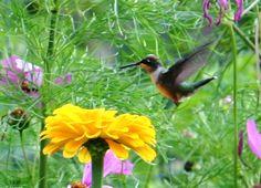 Humming birds love our garden flowers.