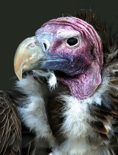 Lappet faced vulture (torgos tracheliotus) by hawkgenes, via Flickr. What a face!