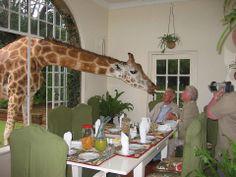A giraffe visiting for dinner.