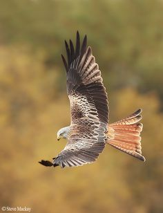 Autumnal Red Kite by Steve Mackay on 500px