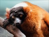 """RED-RUFFED LEMUR....  """"Lemur"""" is Latin for ghost. The first red-ruffed lemurs were discovered in Madagascar by early French explorers, who heard the animals' plaintive calls and wild shrieks and mistook them for the souls of the dead."""