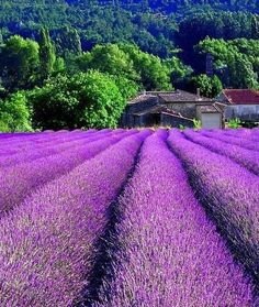 South France - Lavender fields