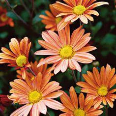 #mums #flowers #fall #autumn