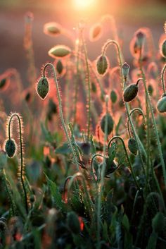 Poppies waiting to bloom...