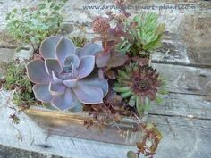 Succulents in a glass fish tank terrarium: It's been said that you can't grow succulent plants successfully in a container without a drainage hole - I beg to differ!  Here's a way you can plant