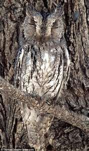 bird, animals, tree trunks, hidden owl, trees, awesom owl, hoot, owls, camouflage