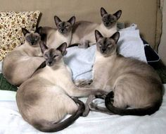 Siamese cat family in Tokyo, Japan.