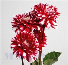 Dahlia red and white Mayesh Wholesale Florists - Search our Flower Library