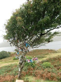 Fairy Tree.  You will see these all over Ireland.  Usually a Hawthorn, but sometimes Ash or Oak.  Ghosts and spirits hang out here, so you'd never go near one at night....and no one would EVER dream of cutting one down!  Sep 2010