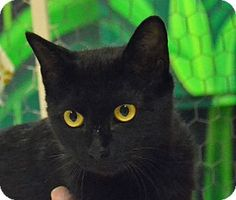 Searcy, AR - Domestic Shorthair. Meet August, a cat for adoption. http://www.adoptapet.com/pet/11420542-searcy-arkansas-cat