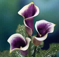 Purple calla lilies color, wedding bouquets, calla lilies, purple flowers, wedding flowers, purpl calla, bridesmaid bouquets, calla lillies, event planners