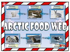 Arctic Food Chain & Food Web Card Sort - bring the arctic to your classroom (freebie).