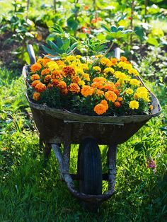 old wheelbarrows excellent container for marigolds