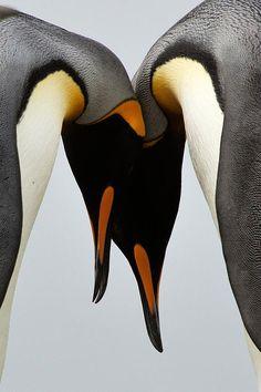 ~~ King Penguins - South Georgia ~~