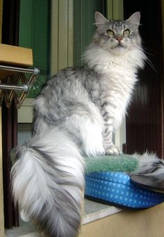 Maine Coon - I want one in this colour #cat