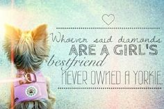 Whoever said diamonds are a girls best friend, never owned a yorkie.