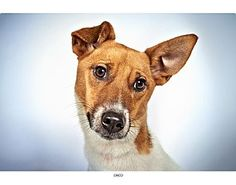 Chico, a Jack Russell Terrier Mix.