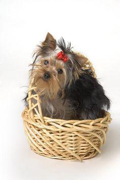 terrier puppi, dog lovers, yorkshir terrier, basket, yorkshire terriers