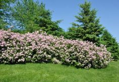 Best Shrubs for Privacy - Lilac Hedge pictured