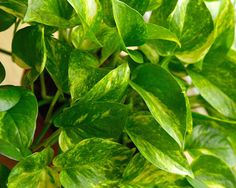 Golden pothos (Scindapsus aures): Another powerful plant for tackling formaldehyde, this fast-growing vine will create a cascade of green from a hanging basket. Consider it for your garage since car exhaust is filled with formaldehyde. (Bonus: Golden pothos, also know as devil's ivy, stays green even when kept in the dark.)