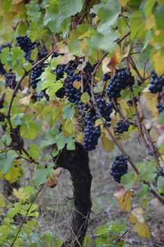 A winemaker's dream moment.  Pinot Noir right before harvest with the grapes perfect.