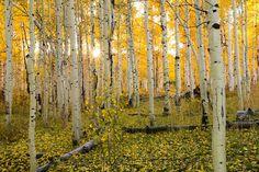 Backlit Aspen Grove, Utah