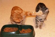 Nope. funny animals, animal pictures, foods, funny pictures, funny cats, funni, orange cats, hous, kitty